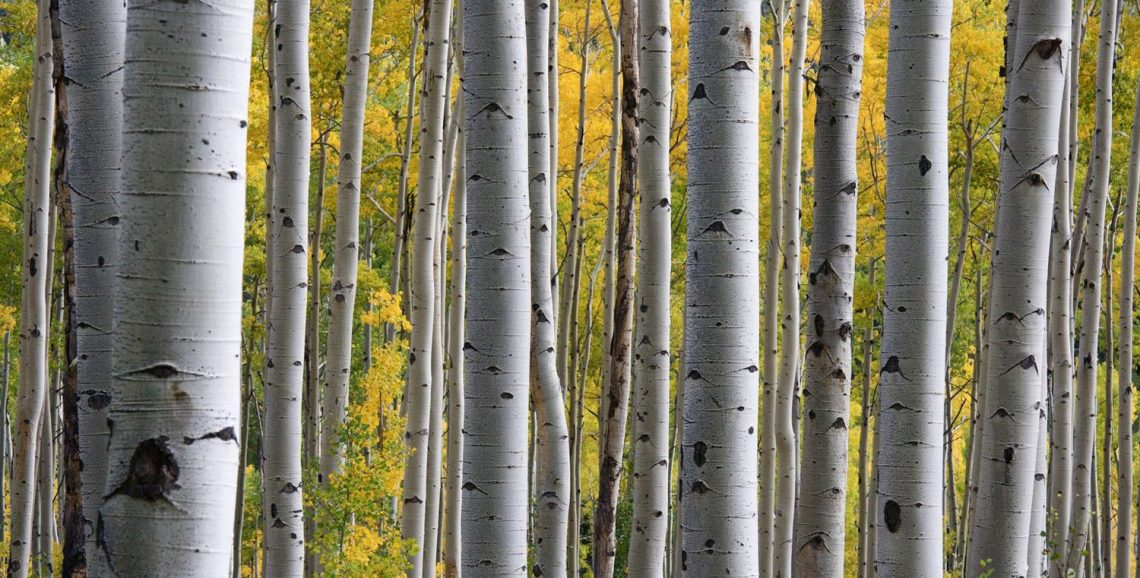 Birch Trees - Weekly Writing Exercise: Startling Details
